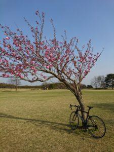 ロードバイクと梅の画像