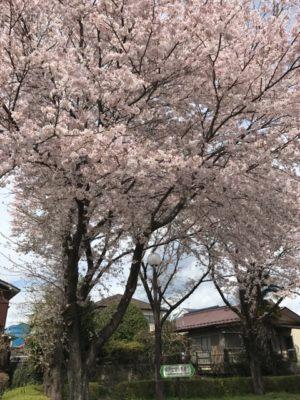 桜満開画像