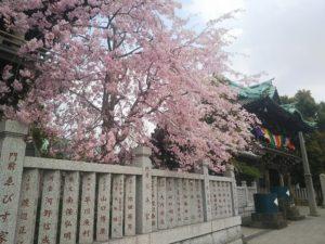帝釈天桜画像